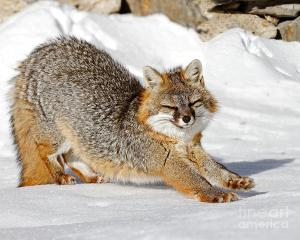 Stretching-Fox